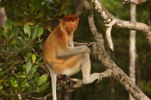 Proboscis monkey (Nasalis larvatus), female in mangrove tree