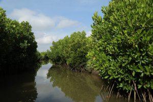 mangrove; stilt roots; restoration: India