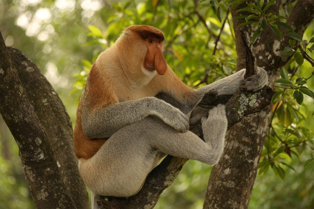 Male proboscis monkey (Nasalis larvatus) in a tree, Labuk Bay Proboscis Monkey Sanctuary, Sabah, Borneo, Malaysia.