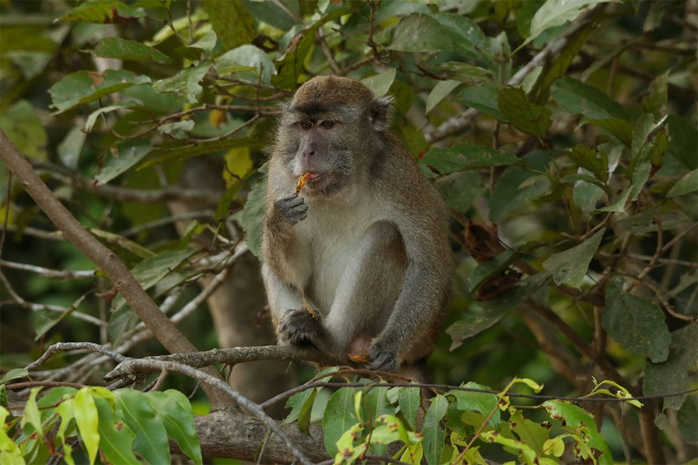 Long-tailed macaque (Macaca fascicularis) eating flowers in a tree in lowland tropical rainforest on the banks of the Kinabatangan River, Sabah, Borneo, Malaysia.