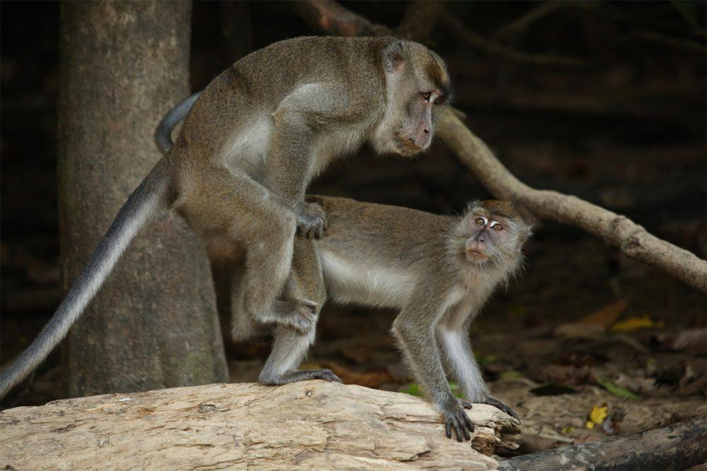 Long-tailed macaques (Macaca fascicularis) mating