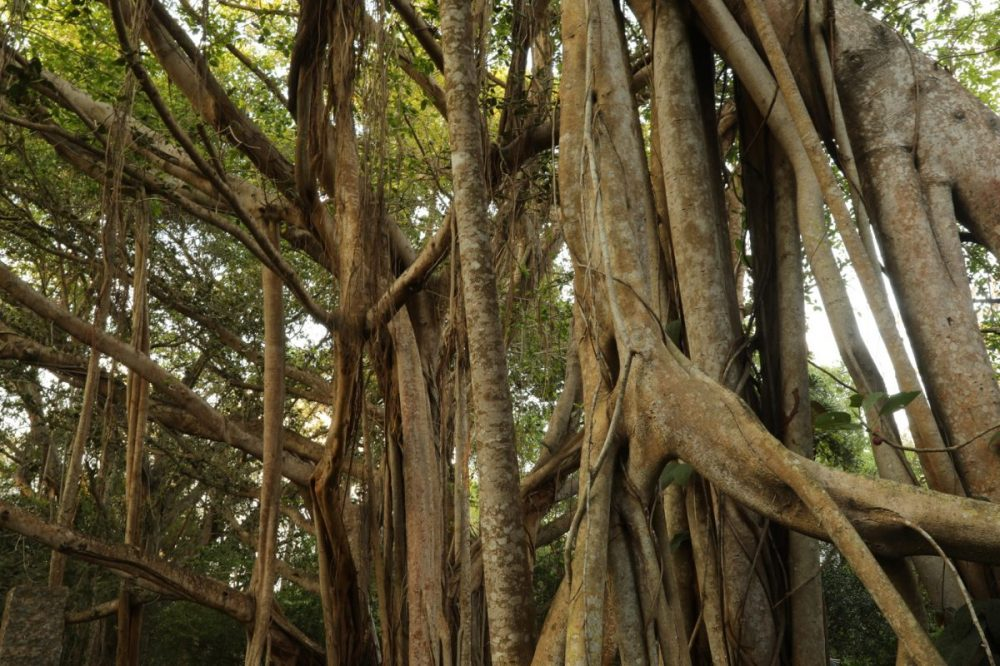 banyan tree, aerial roots, india