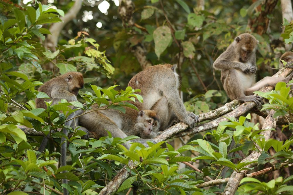 Family group of long-tailed macaques (Macaca fascicularis) in a tree