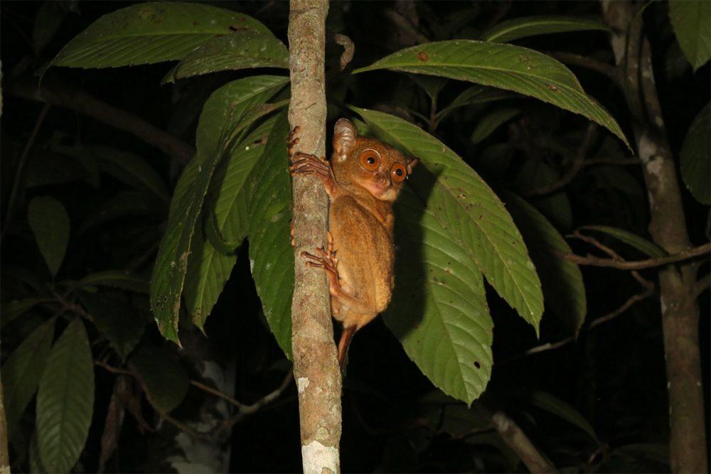 Western tarsier (Cephalopachus bancanus) in tree at night copy
