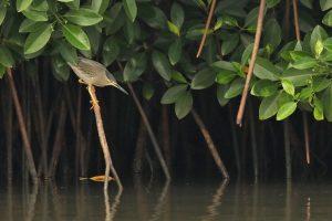 striated heron mangrove india