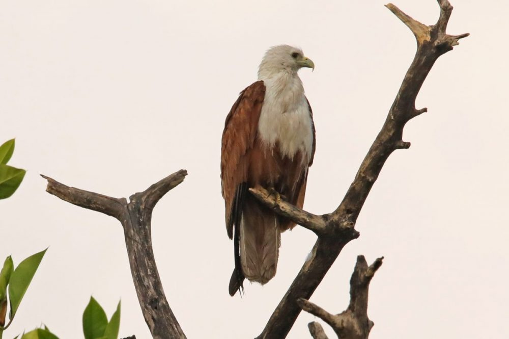 Bird Brahminy kite mangrove wildlife