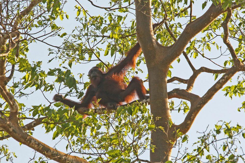 Orang utan (Pongo pygmaeus) backlit in a tree beside the Kinabatangan River copy