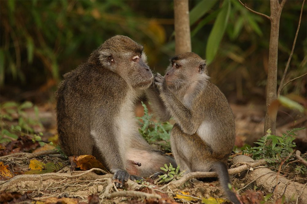 Long-tailed macaques (Macaca fascicularis), female grooming a male copy