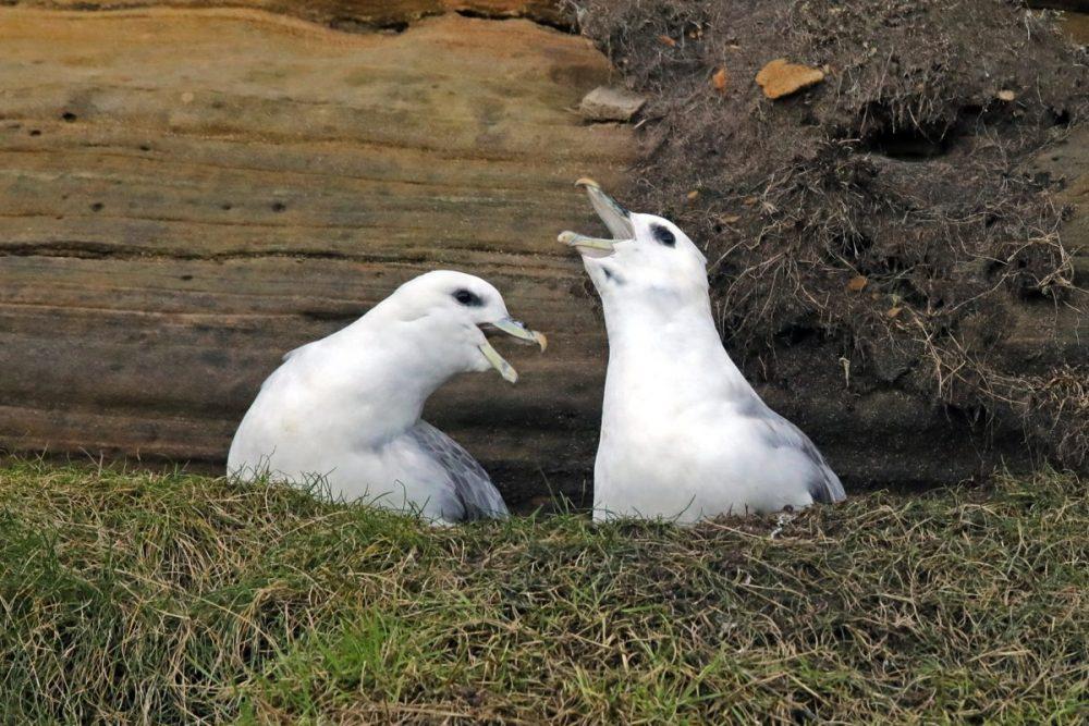 fulmar; bird; courtship; sandstone; Moray coast; Fulmarus glacialis