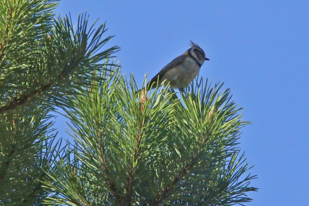 bird crested tit Lophophanes cristatus