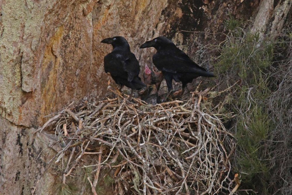 Ravens (Corvus corax) with chicks in their nest in Glen Affric