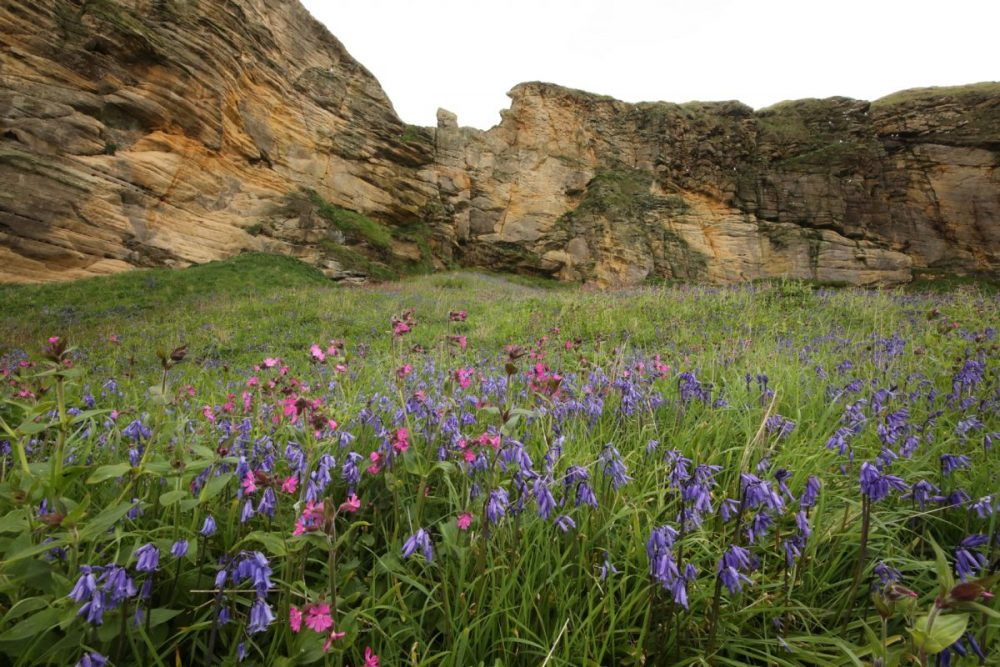 bluebell; red campion; Hyacinthoides non-scripta; silence silica; sandstone coast; spring flowers