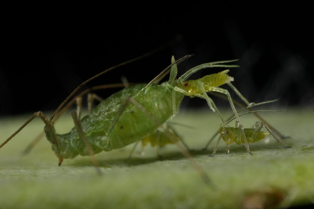 Aphid; giving birth; Acyrthosiphon pisum; insect reproduction; macro photography;