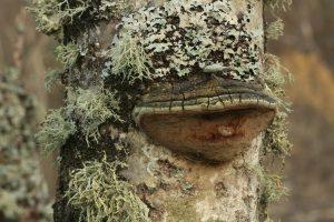 Aspen bracket fungus (Phellinus tremulae) & lichens on aspen