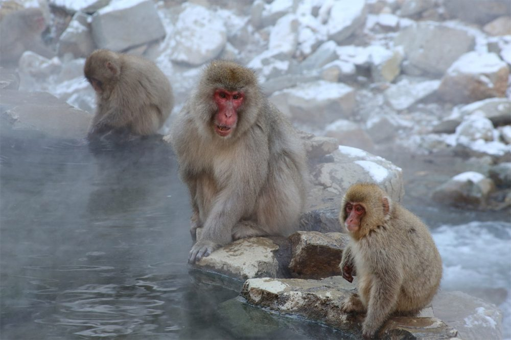 Japanese macaques or snow monkeys (Macaca fuscata) at hot springs pool copy
