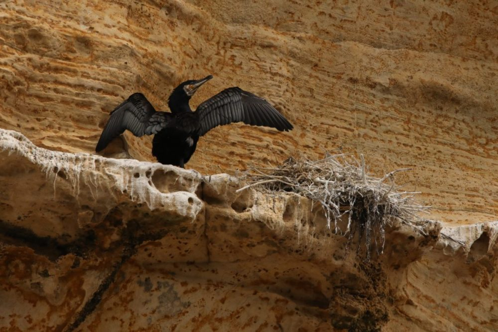 Cormorant, behaviour, wings drying, nesting, Phalacrocorax carbo,  Moray Coast