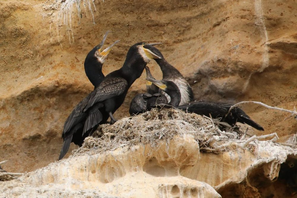 Cormorants; chicks; feeding at the nest; seabirds; Moray coast; Scotland.