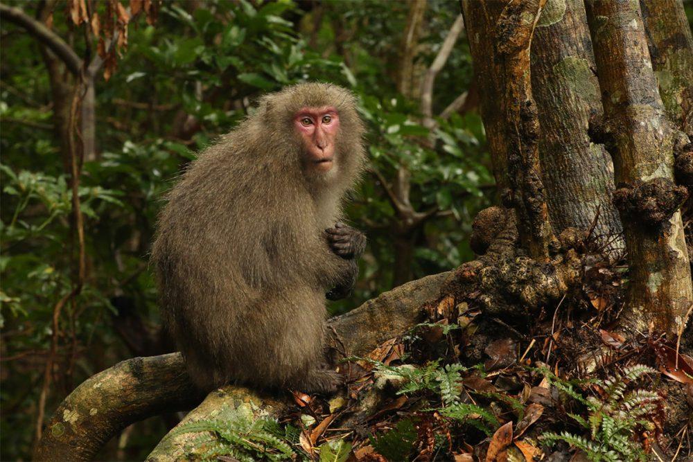 Yakushima macaque (Macaca fuscata yakui) at the base of a tree in subtropical rainforest, Yakushima NP copy