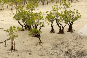 Mangroves (Kandelia obovata) at low tide at the mouth of the Kurjo River, Yakushima Island copy