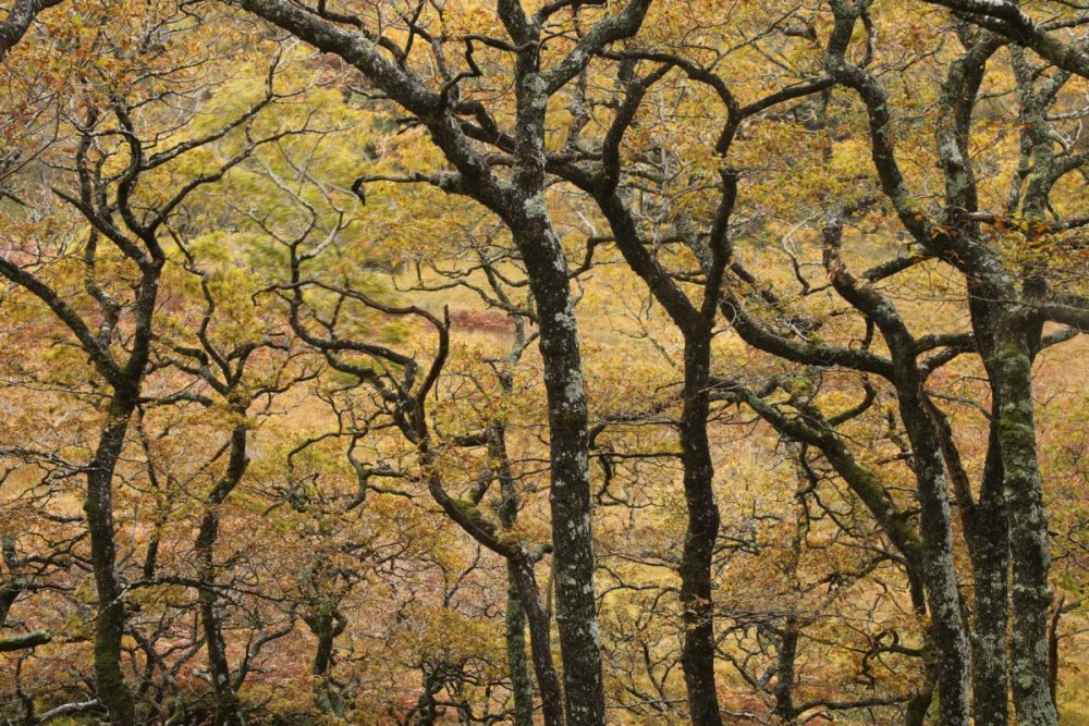 oak trees; autumn; Quercus; temperate rainforest;