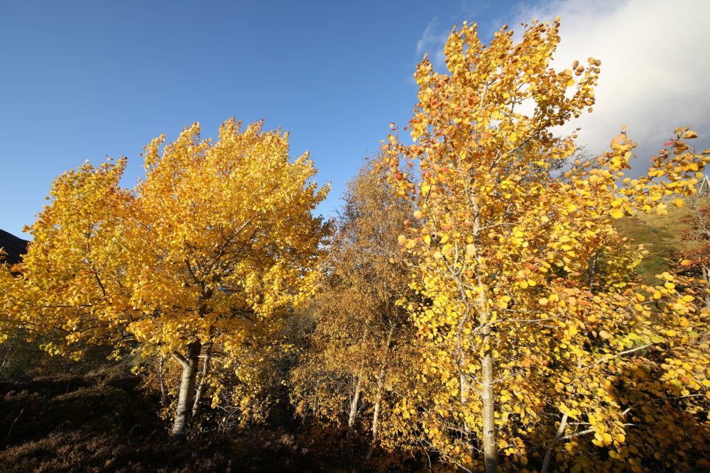 Aspen; autumn colour
