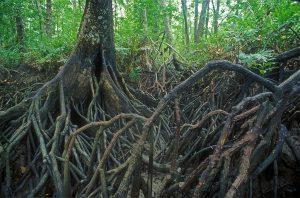 Mangrove with 'knee' pneumatophores (Bruguiera sexangula)