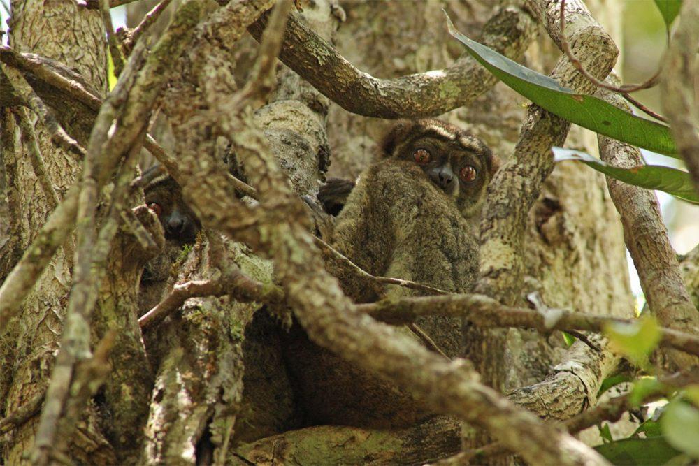 Eastern woolly lemurs (Avahi laniger) roosting in a tree