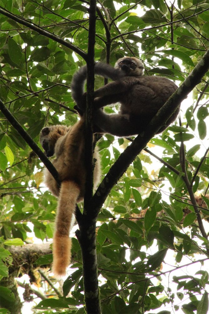 Red-fronted brown lemurs (Eulemur rufifrons) in the upper branches of a tree in lowland tropical rainforest