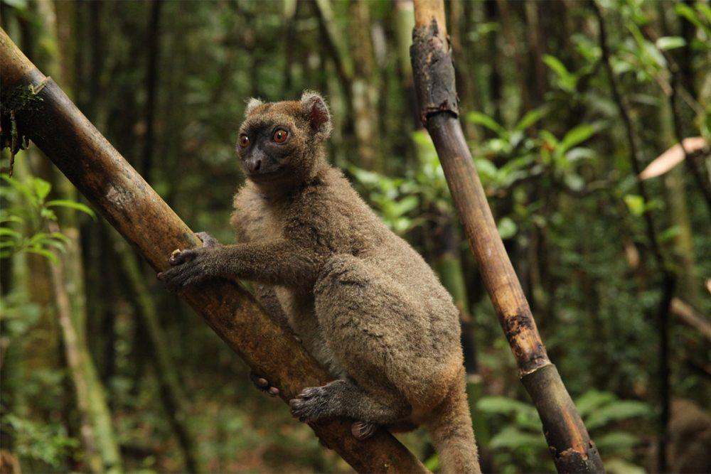 Greater bamboo lemur (Prolemur simus) on bamboo in lowland tropical rainforest, Ranomafana National Park, Madagascar.