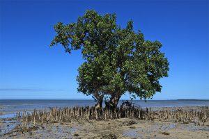 Mangrove (Sonneratia alba)