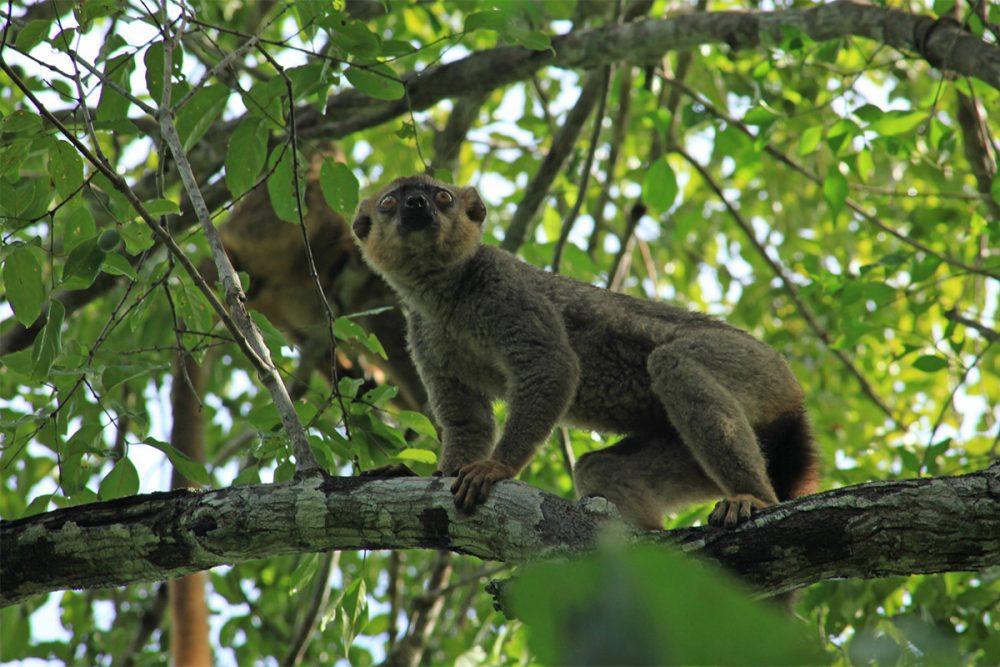 Red-fronted lemur (Eulemur fulvus rufus) copy