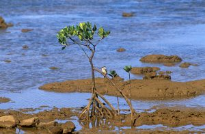 Sacred kingfisher (Halcyon sanctus) on mangrove (Rhizophora sp.)