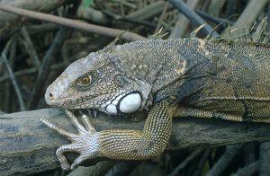 Male green iguana (Iguana iguana)