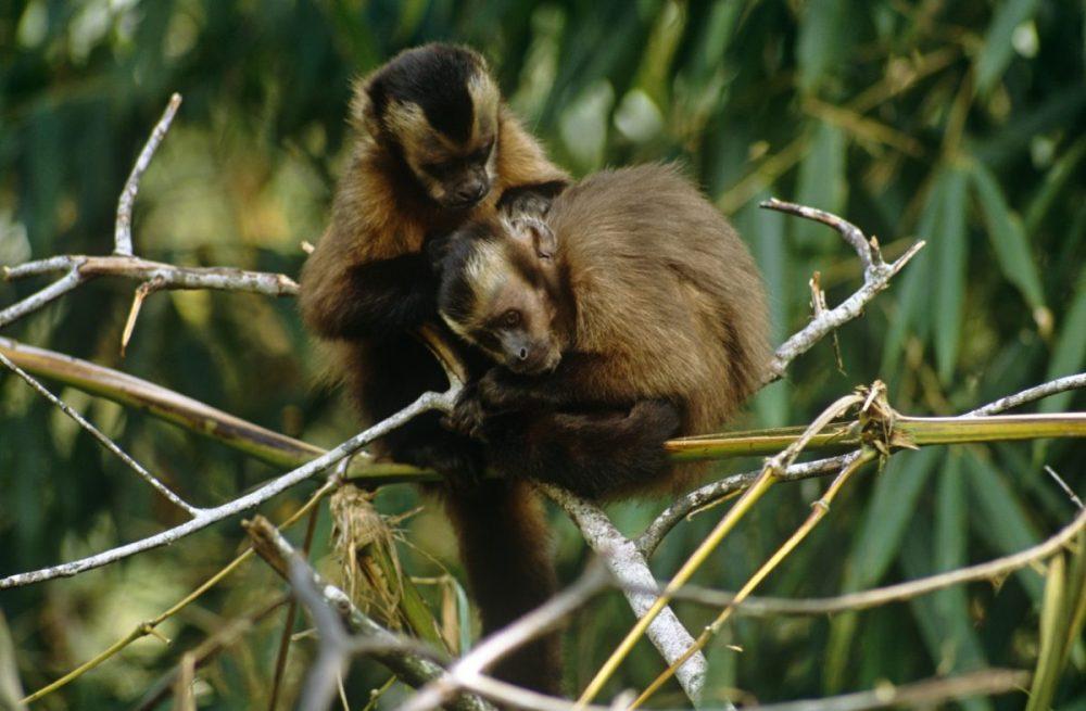 Capuchin monkeys; grooming; Peru; primates; cloud forest; Cebus apella