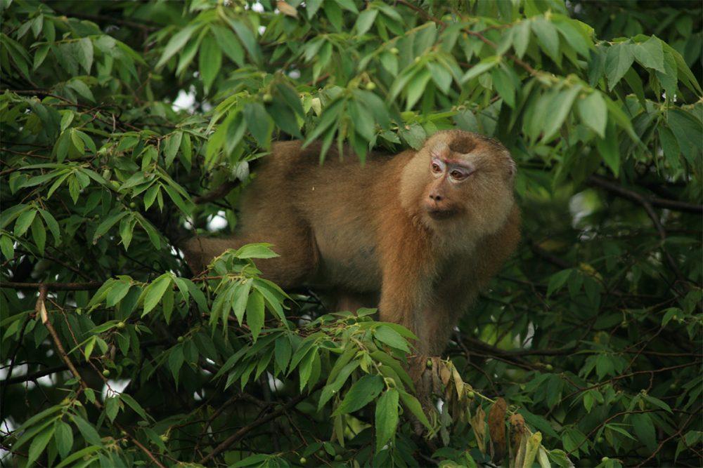 Pig-tailed macaque (Macaca nemestrina) in lowland tropical rainforest, Khao Yai National Park, Thailand.