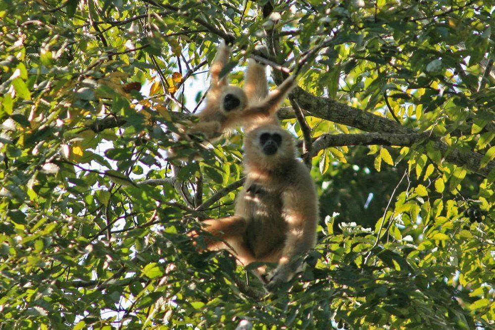 White-handed gibbon; lar gibbon; primate; endangered species; rainforest; Thailand