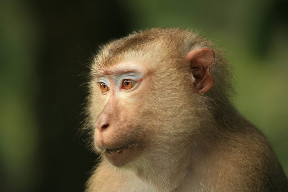 Female pig-tailed macaque (Macaca nemestrina) in lowland tropical rainforest, Khao Yai National Park, Thailand.