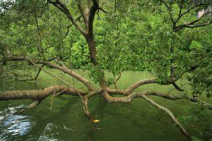 Mangrove (Avicennia alba)