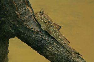 Giant mudskipper (Periophthalmodon schlosseri)
