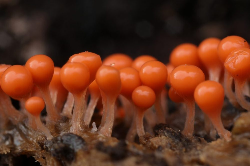 Slime mould; sporocarps; Trichia decipiens; Scotland, macro photograph