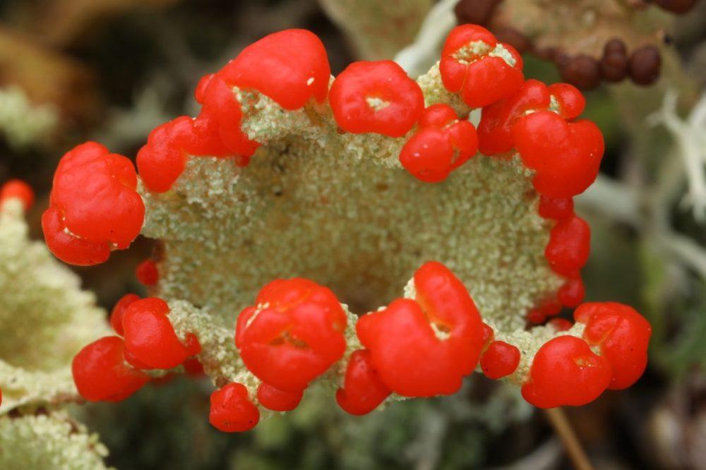 lichen; red apothecia; Cladonia coccifera; Scotland; macro photograph.