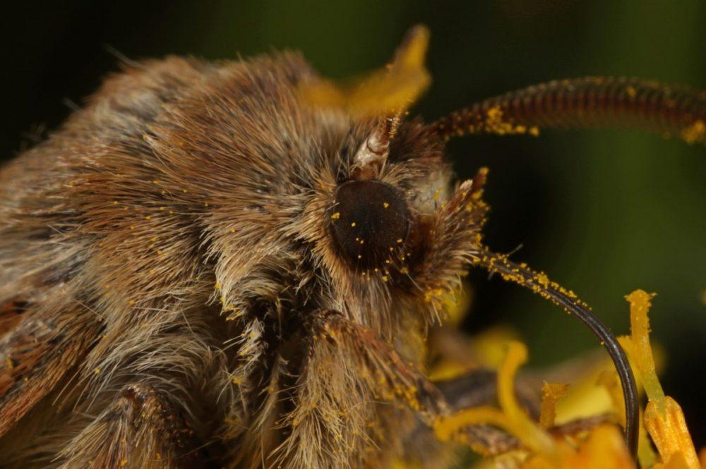 antler moth; cerapteryx graminis; ragwort; Glen Affric, Caledonian Forest; macro photograph