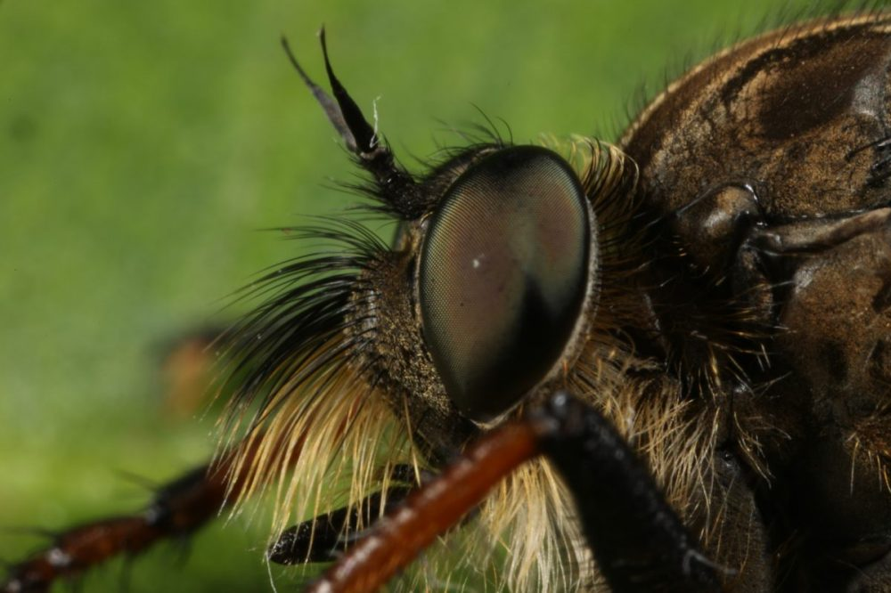 compound eye; pied-winged robberfly; Pamponerus germanicus; macro photograph