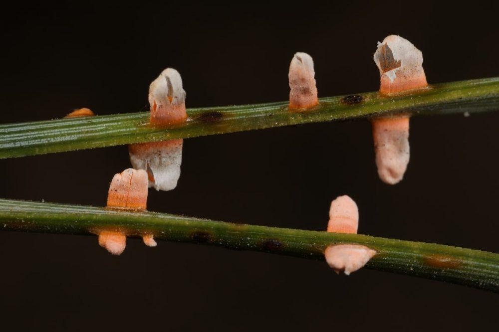 rust fungus; Scots pine, Scotland, Findhorn, macro photograph