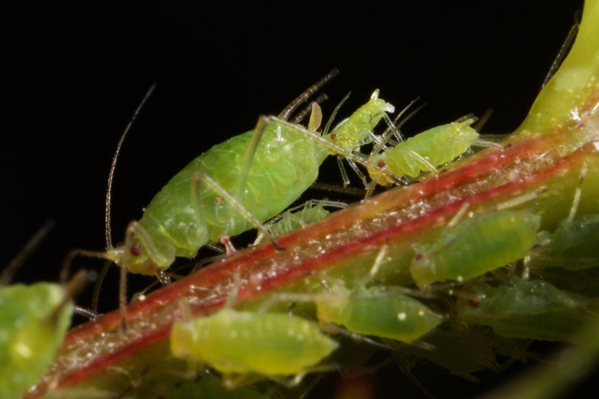 aphid; aphid giving birth; Macrosiphum euphorbiae; dog rose; Rosa canina; Glen Affric, Scotland, macro photograph