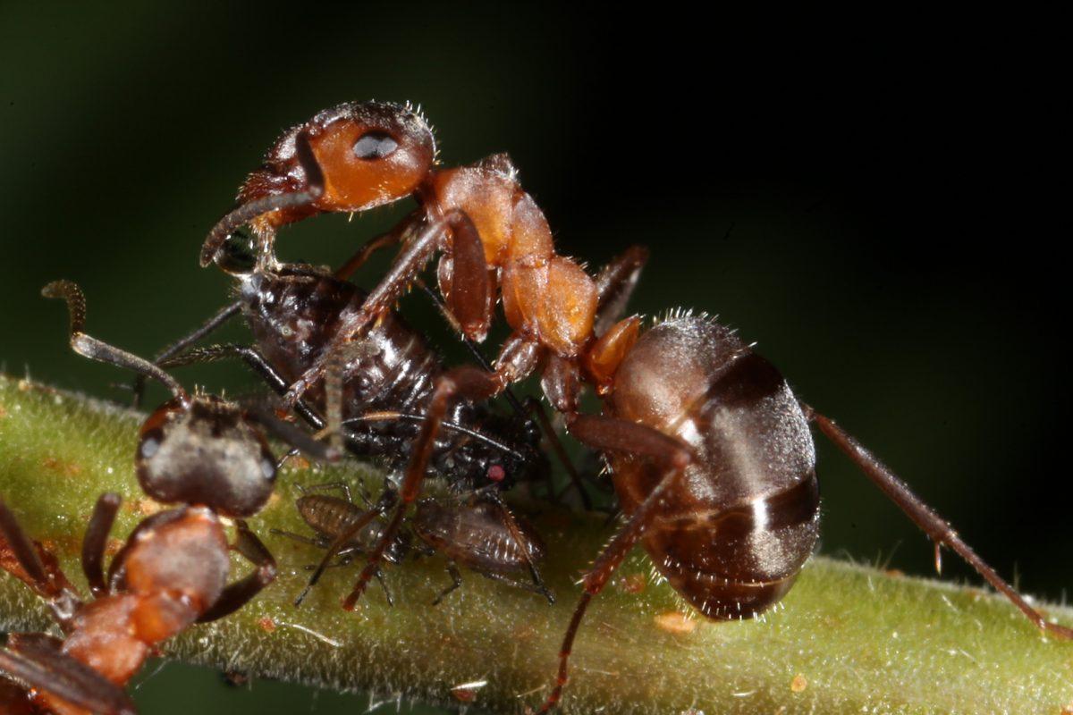 wood ant; aphid; honeydew; birch tree; Glen Affric, Scotland, macro photograph