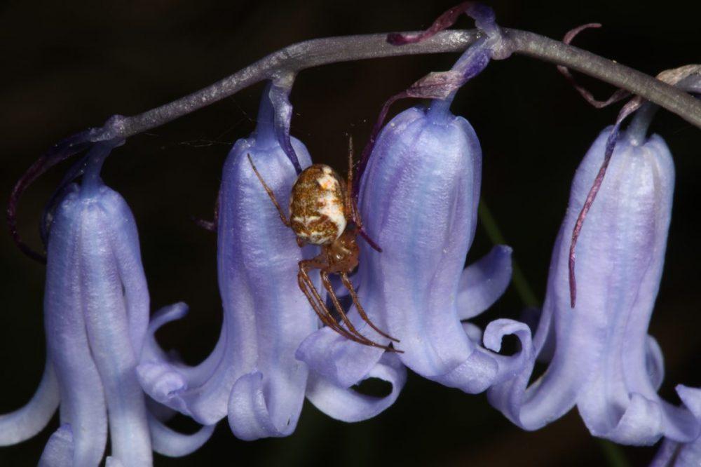bluebell; spider; metallina mengei; macro photograph
