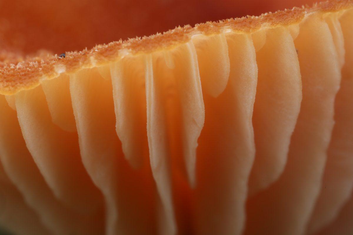 fungus; gill detail; deceiver fungus; Laccaria laccata, Scotland, macro photograph
