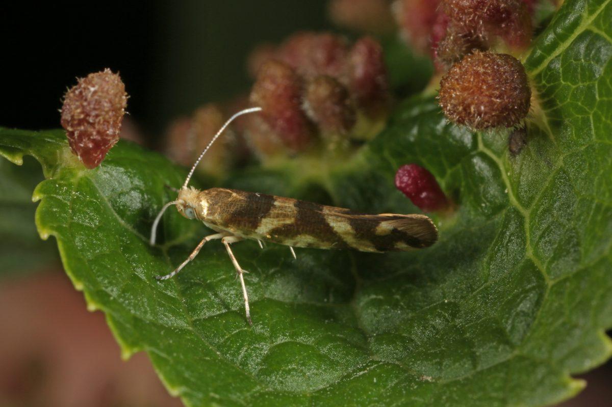 micro moth, gall, bird cherry