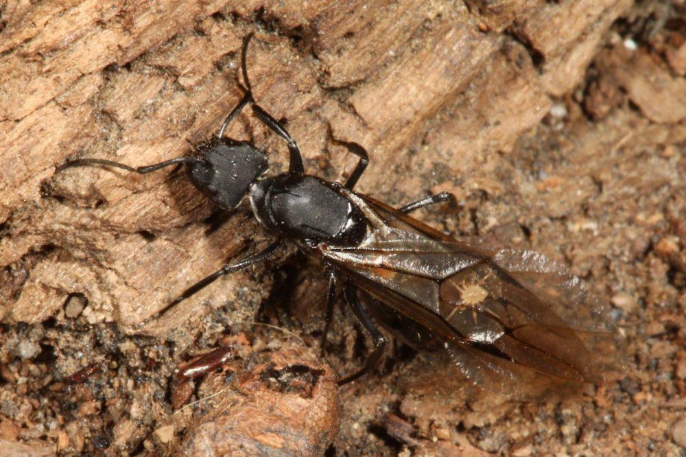 Phoresis, phoretic mites; winged ant; Camponotus; Myrmozercon; Chile, macro photograph